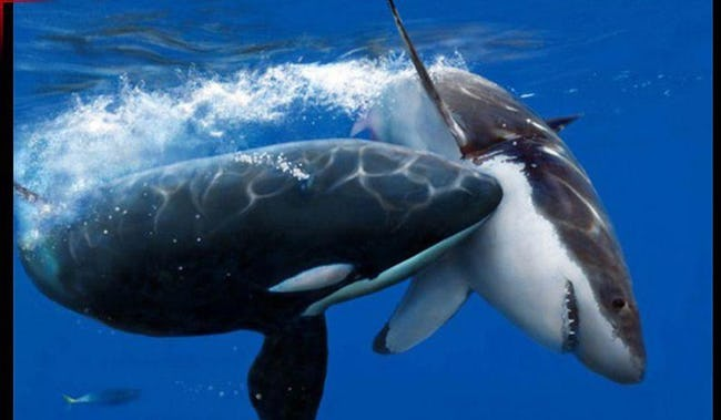 Killer Whales Are The Biggest A-Holes In The Entire Ocean